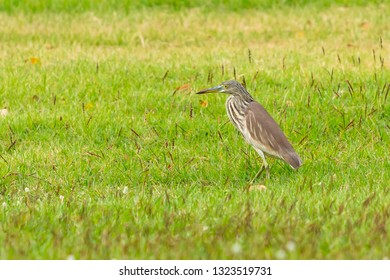 Young Indian Pond Heron standing on the lawn in a park