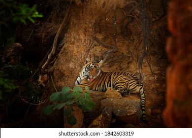 Young Indian tiger, wild animal in the nature habitat, Ranthambore NP, India. Big cat, endangered animal. Nature habitat with wild cat. Wildlife, tiger from Asia.
