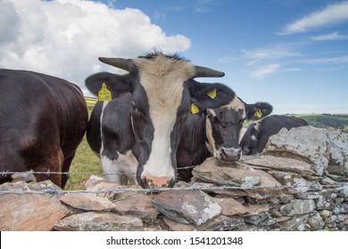 Young inquisitive bullock in Deven field