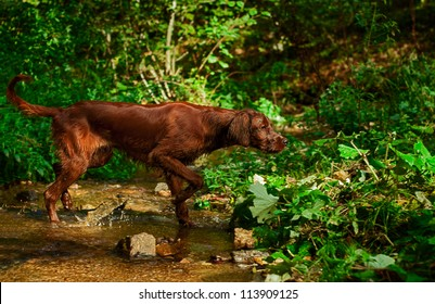 young irish setter crossing a small creek in search of pray. Picture taken during training. / Irish setter hunting