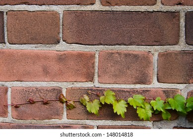 Young Ivy on Brick Wall