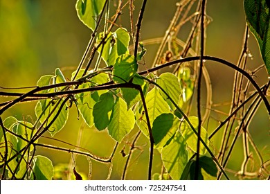 Young Ivy on light