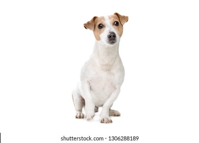 young jack russel terrier in front of a white background