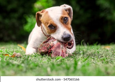 Young Jack Russell Terrier Dog Lying On A Meadow And Eat A Raw Bone