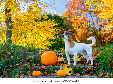 Young Jack Russell Terrier dog near a pumpkin stay on stairs in autumn season park