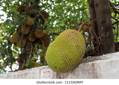 Young Jackfruits on tree near white fence. Tropical farm agriculture in Thailand.