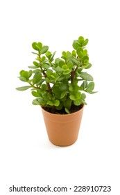 Young Jade Crassula in the small pots isolated on white background