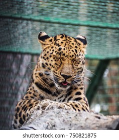 The young jaguar closed his eyes and stuck out his tongue. Lying on a rock.