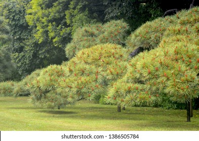 Young Japanese pine trees have been trained into delicate spherical shapes. They are covered with light brown cones. Tall green trees are in the backgound. A delicate lawn covers the ground.