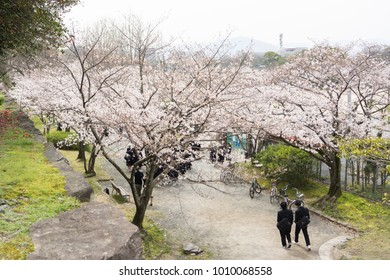 young japanese secondary school students walking under cherry trees