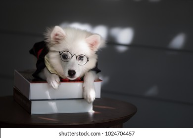 Young Japanese Spitz in lay down on wood table.