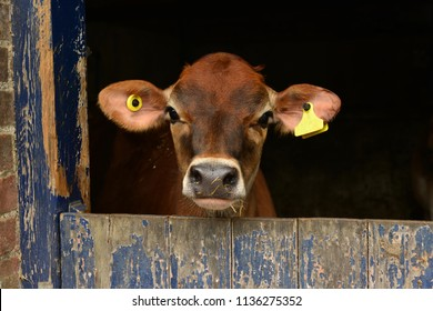 Young Jersey cow, U.K. Heifer headshot at a dairy farm.
