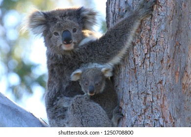 A young joey koala clings to it's mother in the bough of a eucalyptus tree in Gippsland Australia