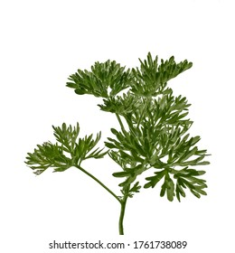Young juicy stalk of Artemisia absinthium with lush green leaves, isolated on white background. Wormwood close-up, also known as grand wormwood, absinthe, absinthium, absinthe wormwood