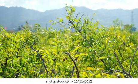 Young jujube tree with green leaves in the Jujube garden in Miaoli, Taiwan
