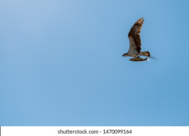 A young juvenile bald eagle (haliaeetus leucocephalus) flies with a large fish in his talons. Blue sky on a bright sunny day.