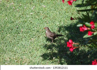 young or juvenile blackbird Latin turdus merula in the thrush family of passeriformes looking for food on a lawn in summer in Italy by Ruth Swan