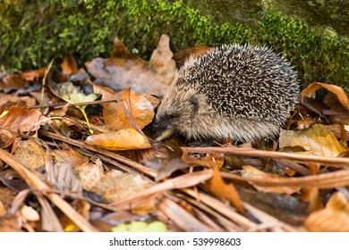 young juvenile hedgehog chewing slug in autumn leaf litter