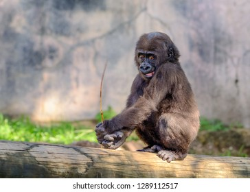 Young, Juvenile Male Silverback Western Lowland gorilla, (Gorilla gorilla gorilla) playing and smiling