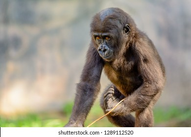 Young, Juvenile Male Silverback Western Lowland gorilla, (Gorilla gorilla gorilla) playing
