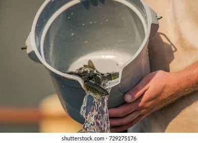 Young juvenile salmon or trout at a national fish hatchery are counted and released back into the main holding tank / pond after being weighed.