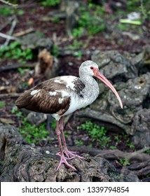 A young Juvenile White Ibis Bird, (Eudocimus albus), in a swamp, perched on gnarly wood in natural habitat.