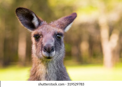 Young Kangaroo looking close-up