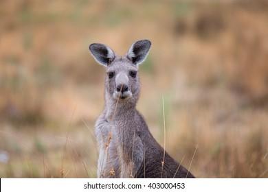 Young Kangaroo looking close-up