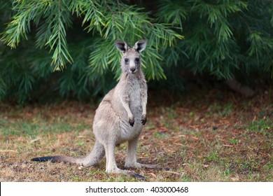Young Kangaroo on east coast of Australia.