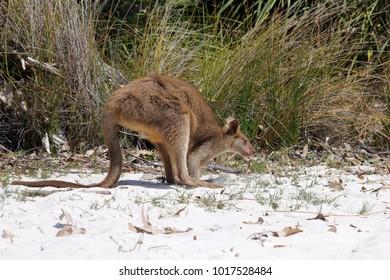 Young kangaroo on white sand