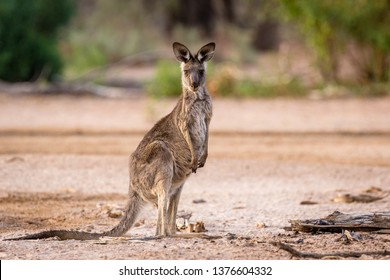 Young kangaroo standing in a dry creek in the Australian outback