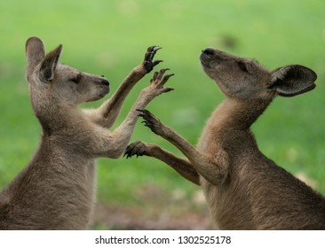 Young Kangaroos play fighting
