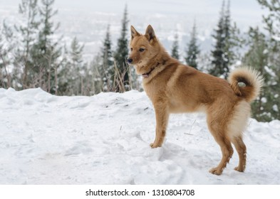 Young Karelo-Finnish Laika dog staying on the hill and looking to something in the winter forest