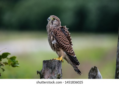 The young Kestrel perching on a wooden fence pole with the wind blowing in the plumage and a nice defocused background