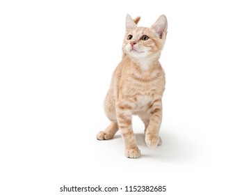 Young kitten with buff color tabby fur walking forward on white background looking up