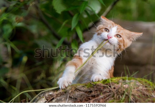 young-kitten-playing-stalk-grass-600w-11