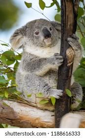Young Koala bear sitting in a tree
