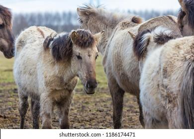 young Konik horse in winter coat in March at Oostvaardersplassen, the netherlands