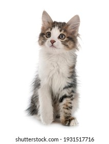 young Kurilian Bobtail in front of white background