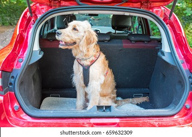 Young labradoodle sitting in the car in the forest ready for a walk