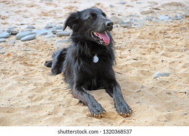 Young labrador at the beach