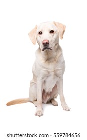 young Labrador dog in front of a white background