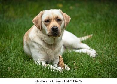 Young labrador dog in the garden