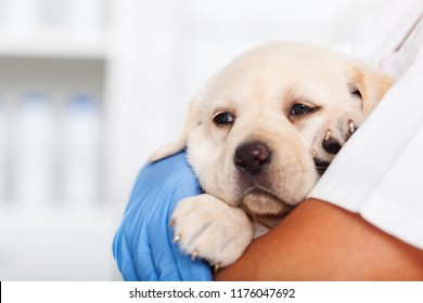 Young labrador puppy dog in the arms of veterinary healthcare professional - being comforted after examination, shallow depth