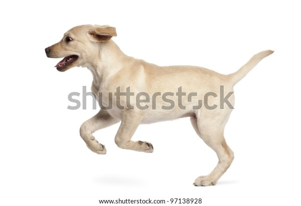 Young Labrador Retriever, 4 months old