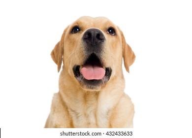 Young labrador retriever dog on white background