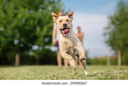 Young Labrador retriever dog in run
