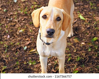 A young Labrador Retriever in light beige stands in front of the lens with very brown eyes and looks straight into the camera. The background ground covered with foliage.