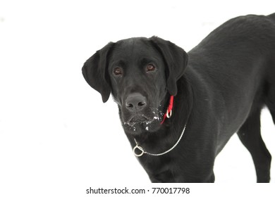 Young labrador retriever looking