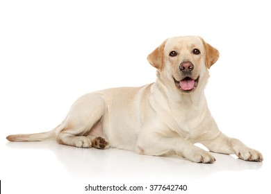 Young Labrador retriever lying on a white background